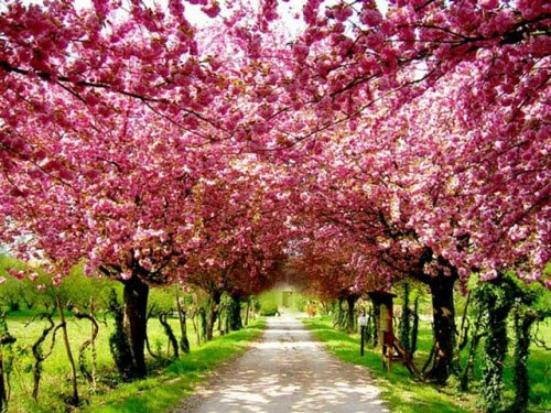 Colorful Flowers: Pink Cherry Blossoms In Japan