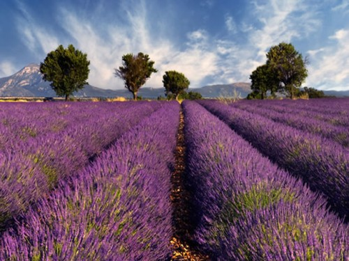 Colorful Flowers: A Glorious Field of Lavender in Provence