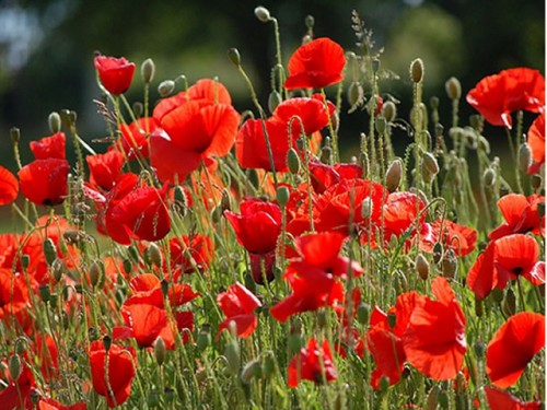 Colorful Flowers: Poppies in Denmark