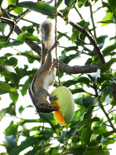 Baby Squirrel Eating A Mango