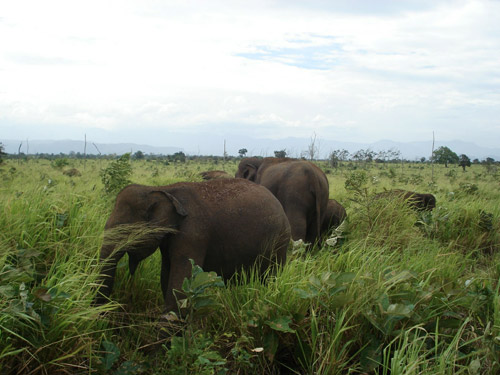 Wild Elephants
